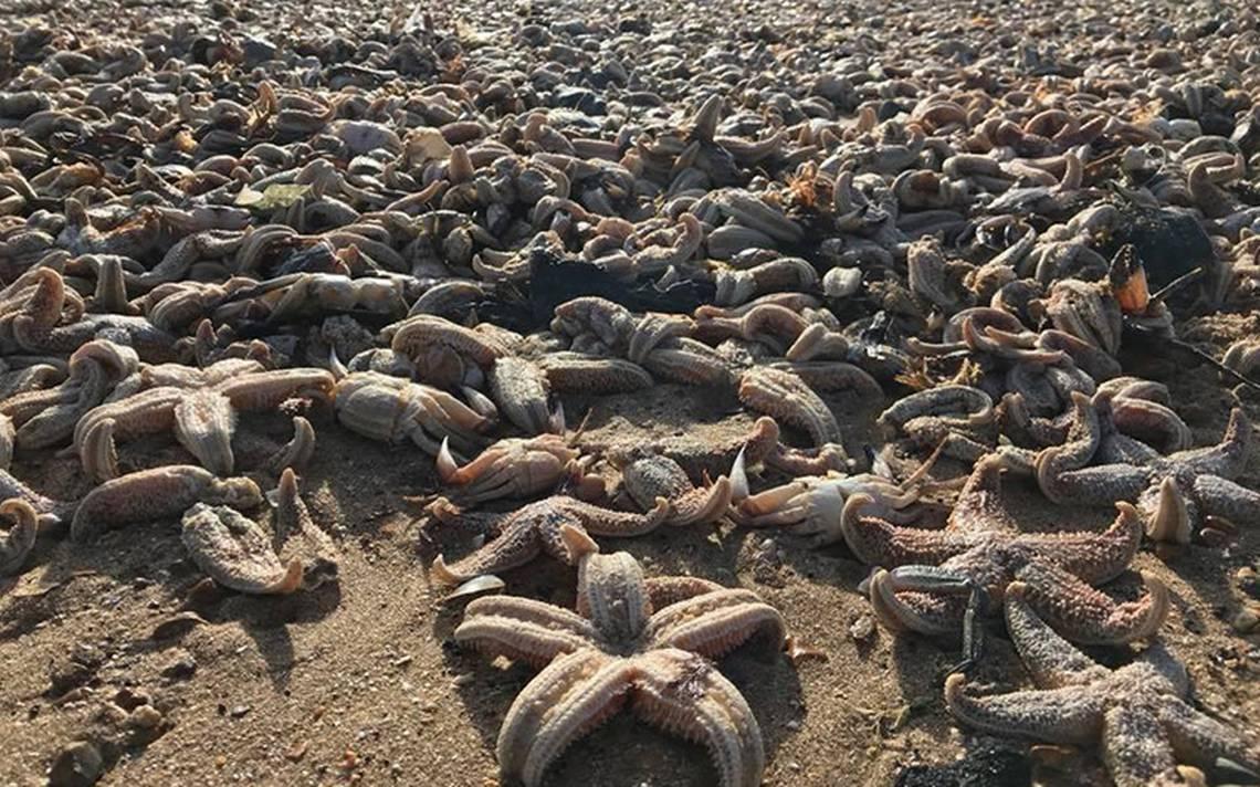 [Video] Cientos de estrellas de mar muertas tapizan playa de Reino Unido