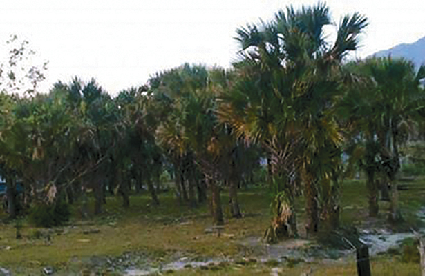 Palma real en peligro de extinción en la Costa de Chiapas