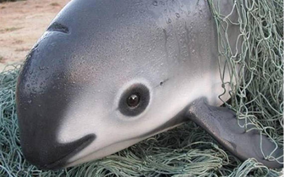 México, China y EU consolidan estrategia a favor de la vaquita marina y del pez totoaba