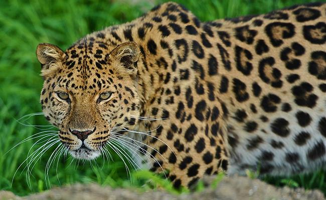 Leopardo provoca cierre de aeropuerto