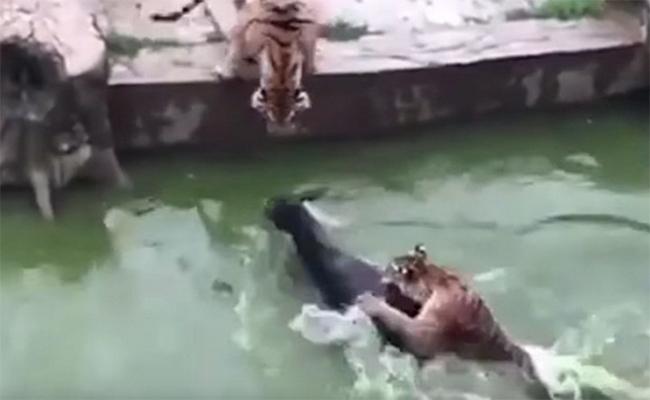 Zoológico arroja a un burro vivo como comida para los tigres