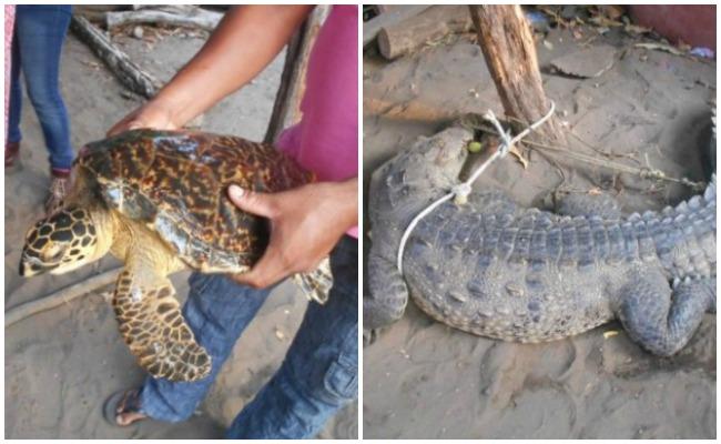 Reintegran a su hábitat a tortuga y cocodrilos en Chiapas