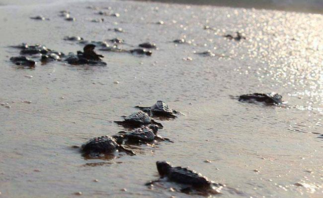 Liberan tortugas en Playa Miramar, Tamaulipas