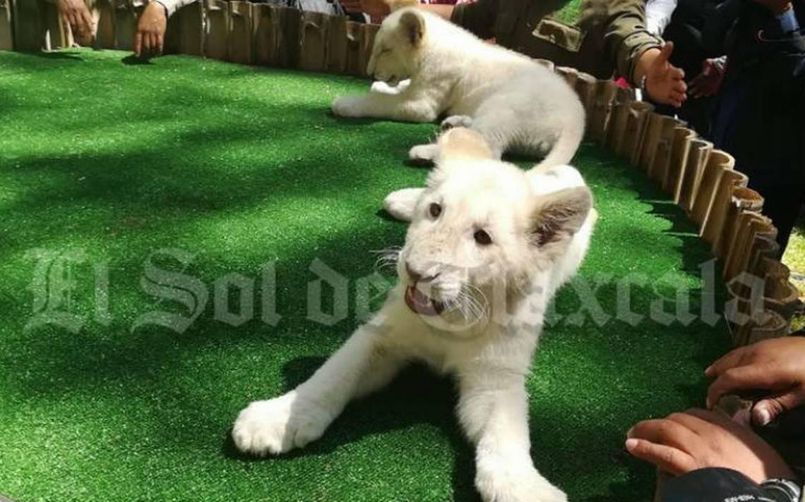 Presentan en el Zoológico de Tlaxcala a leones blancos gemelos