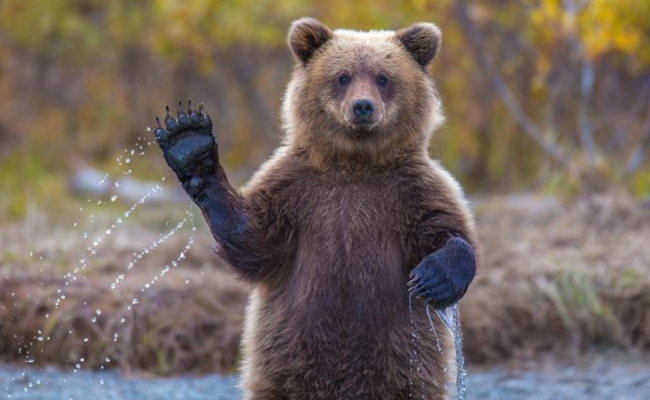 Oso grizzly le dice adiós a lista de especies amenazadas en EU