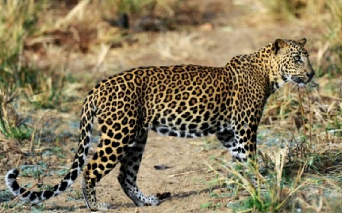 Leopardo devora a un niño en un parque natural de Uganda