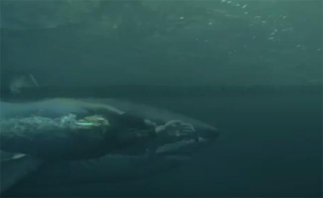 Tiburón vs Michael Phelps: así fue el aguerrido duelo