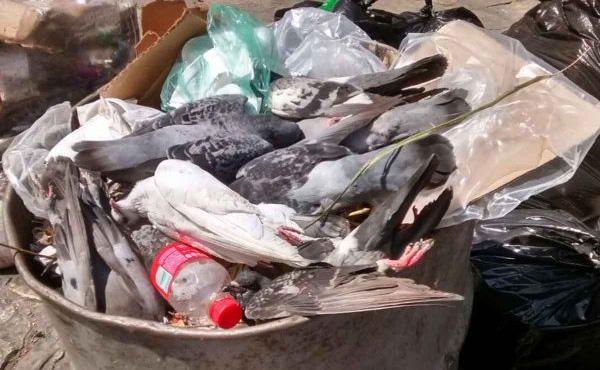 Envenenan a palomas en Parque Central de Chiapas