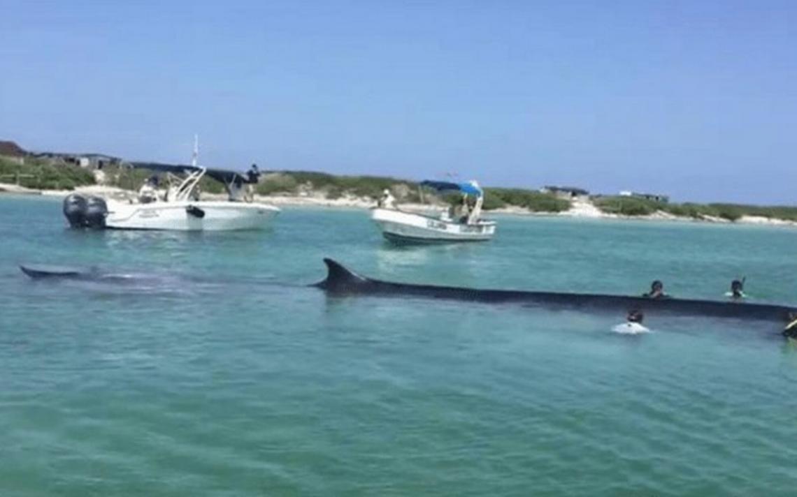 Rescatan con éxito una ballena varada en isla de Quintana Roo
