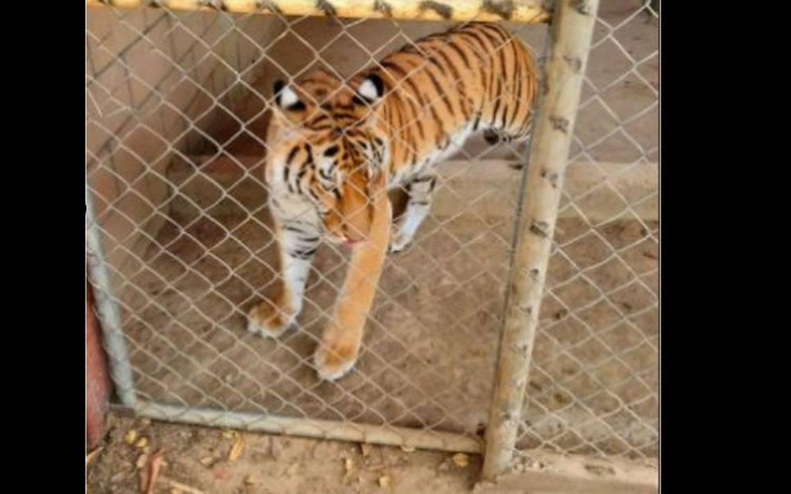 Aseguran tigre de bengala junto con armas y drogas en Sinaloa