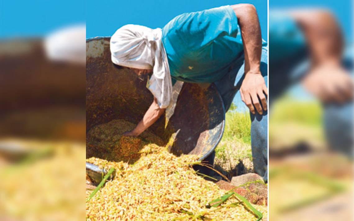 Marcas piratas provocan caída en la producción de arroz Morelos