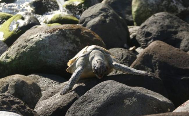 Encuentran tortugas muertas en playas de Boca del Río