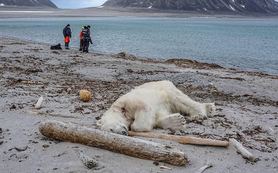 """Matan a un oso polar que atacó a guía turístico noruego, """"fue en autodefensa"""", dicen"""
