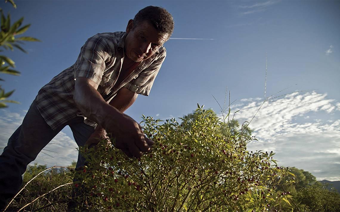 Producción agrícola de los 52 principales cultivos sube 11%
