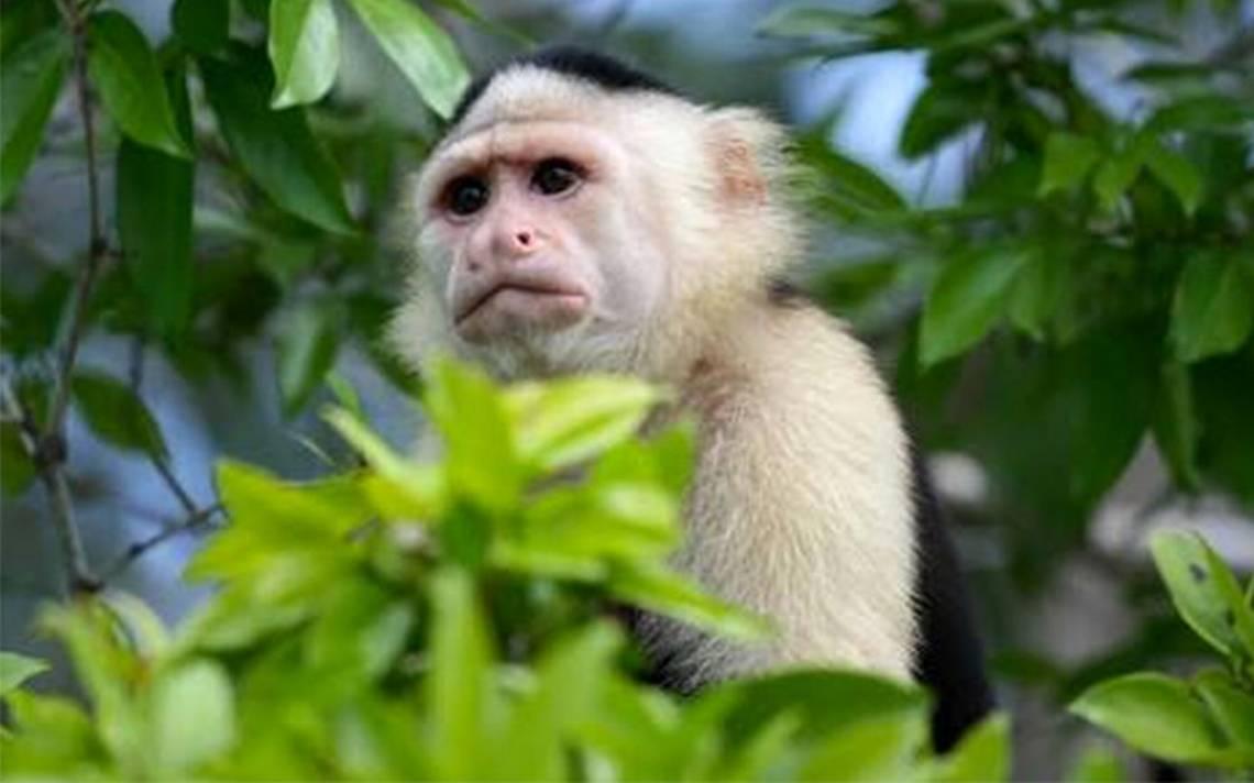 Gran movilización provoca ¡un mono capuchino en Paseo de la Reforma!