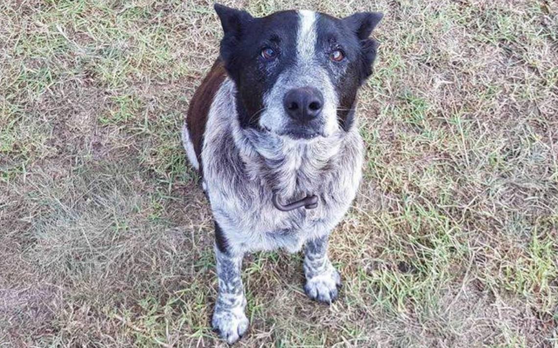 Premian a perrito sordo y ciego por cuidar a una niña perdida