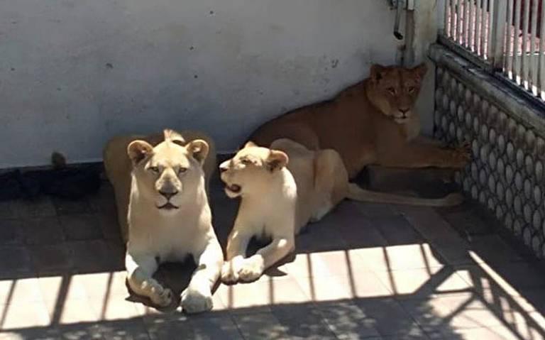 """Adapta la azotea de su casa como """"zoológico"""" para sus leones, en CDMX"""