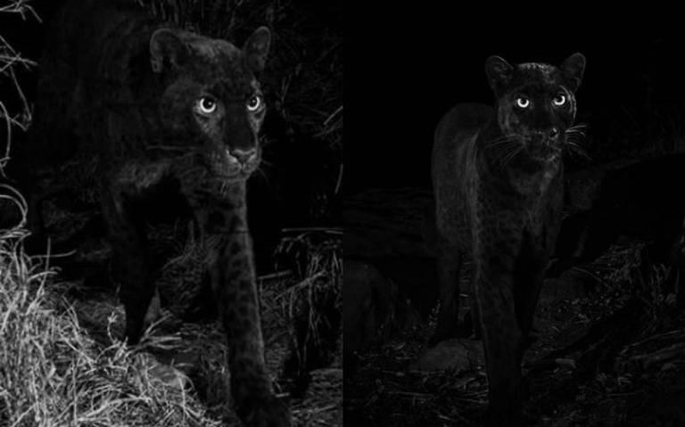 Por primera vez en un siglo logran captar al mítico leopardo negro