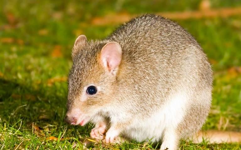 Roedor australiano, primer mamífero que se extingue por cambio climático
