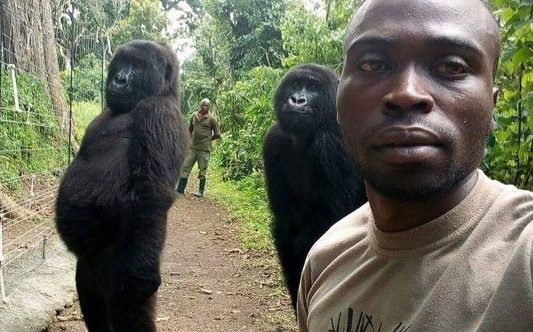 ¡Se ponen monos para la foto! Gorilas posan para selfie y se hace viral