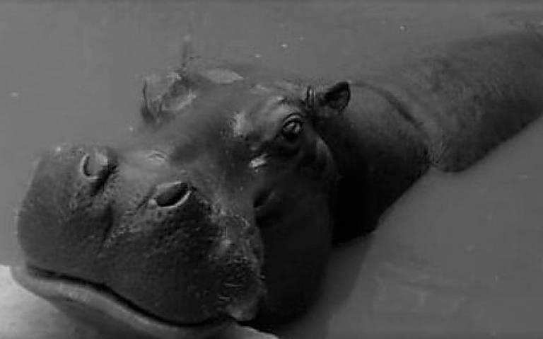 Muerte visita zoológico de Aragón y se lleva a Bianca, la hipopótamo