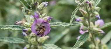Advierten sobre extinción de especies de abejas en México