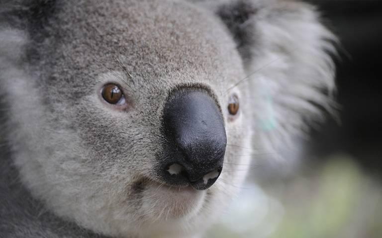 """El koala está """"funcionalmente"""" extinto, afirma ONG"""