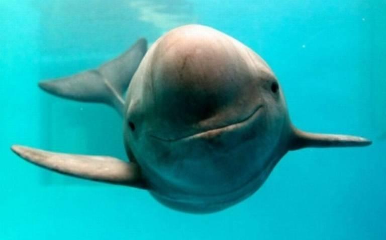 Extinción de vaquita marina podría ser por causas ambiental