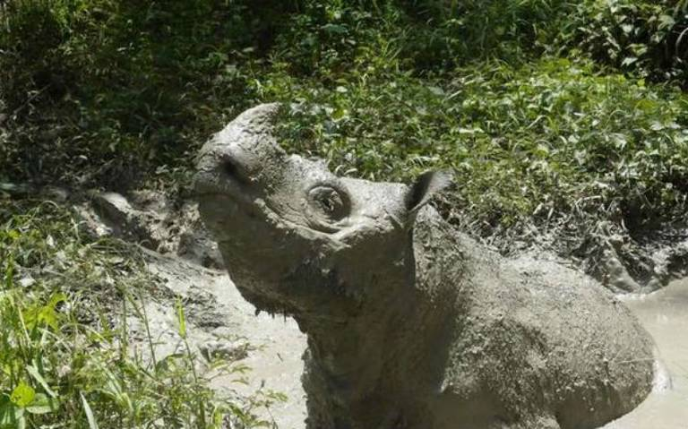 """Muere """"Tam"""", último rinoceronte macho de Sumatra"""