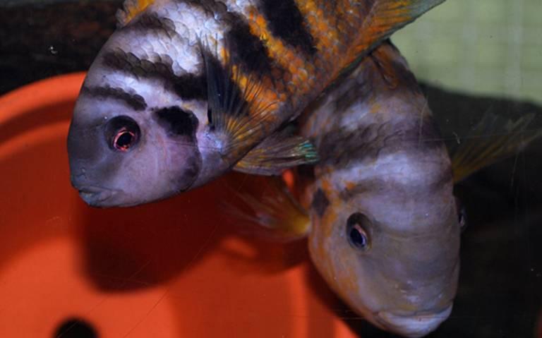 Este amoroso pez se pone triste cuando lo separan de su pareja