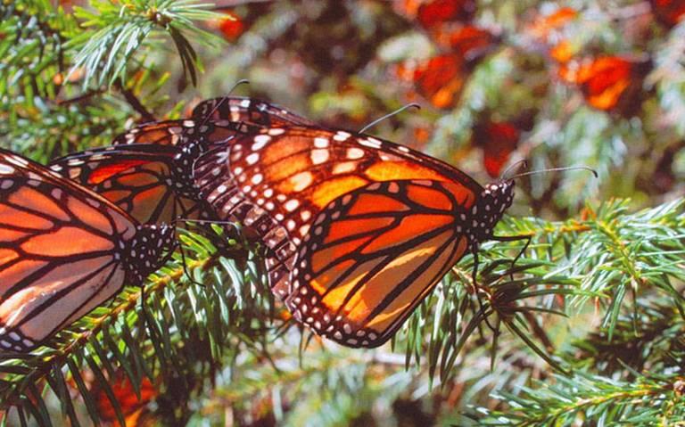 Busca Ipac concientizar sobre mariposa monarca