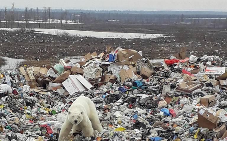 Capturan en Rusia a oso polar hambriento que buscaba comida en la basura