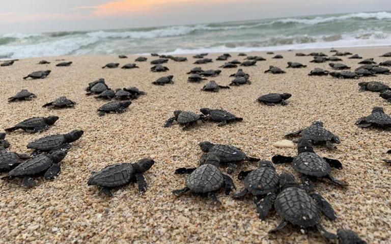 Liberan crías de tortuga lora en costa tamaulipeca