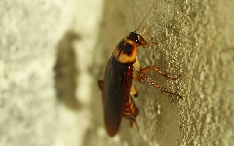 ¿Cucarachas inmortales? Estudio advierte que los insecticidas ya no son suficientes para exterminarlas