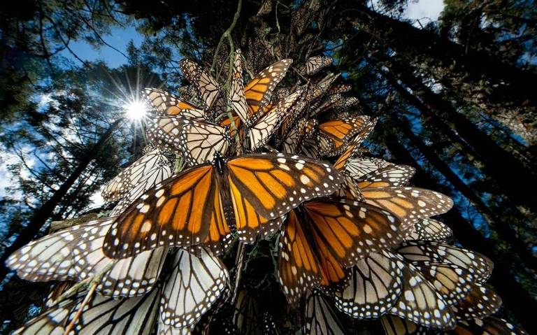Inicia monitoreo de la mariposa monarca