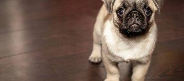 ¿Sabías que los perros pueden interpretar las emociones de sus dueños?