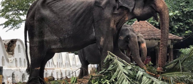 Tiikiri, la elefanta desnutrida obligada a participar en festival budista