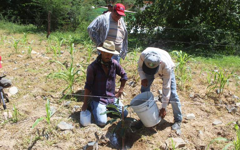 Aguacate le gana terreno a la marihuana en Chihuahua