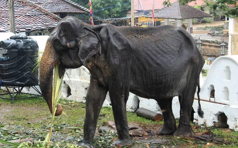 Muere Tikiri, la elefanta desnutrida obligada a participar en festival budista