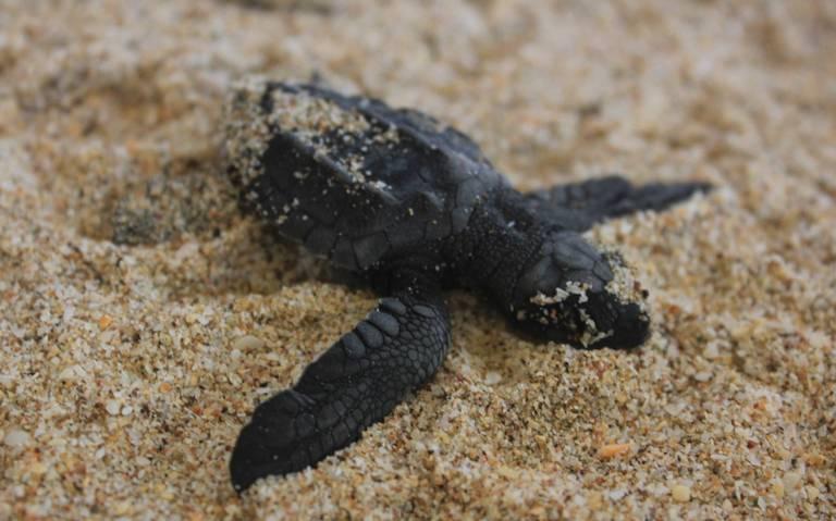 Va lenta, temporada de desoves de tortugas en las costas mazatlecas
