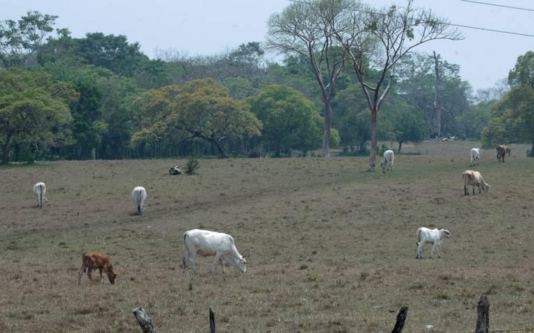 Mueren 100 mil reses en el país por sequía