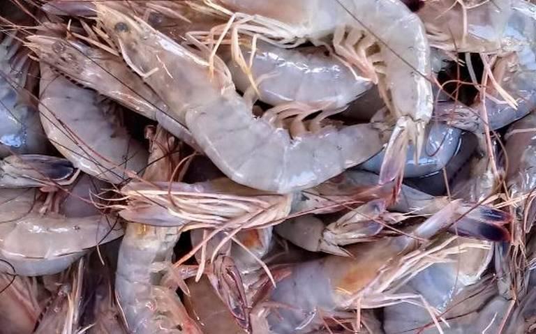 Por desorden pesquero en el sur de Sinaloa, pierde valor el camarón