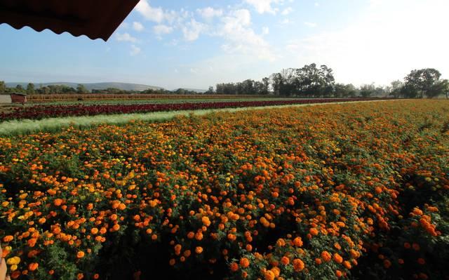 China lidera producción de cempasúchil, destrona a México