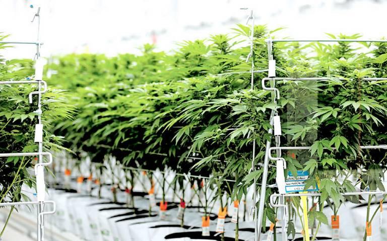 AMLO no descarta creación de Cannsalud, empresa de marihuana