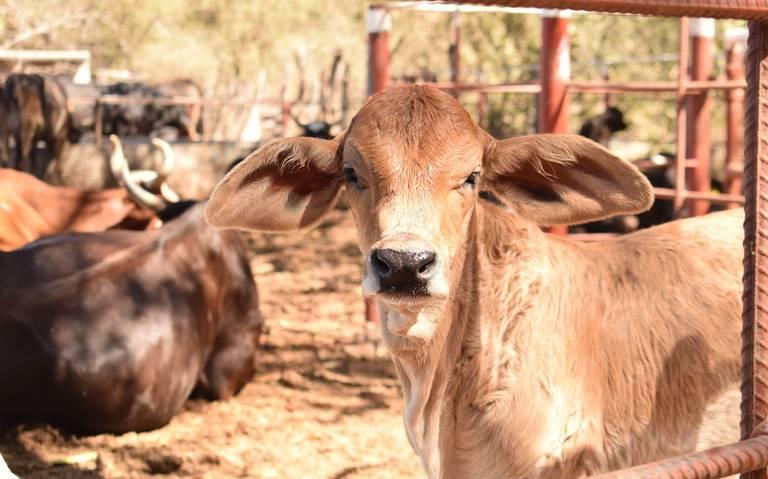 La incosteabilidad le 'pega' a ganaderos en Mazatlán