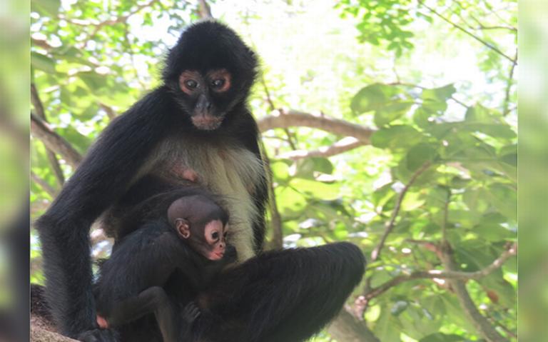 Nace cría de mono araña en el Cañón del Sumidero