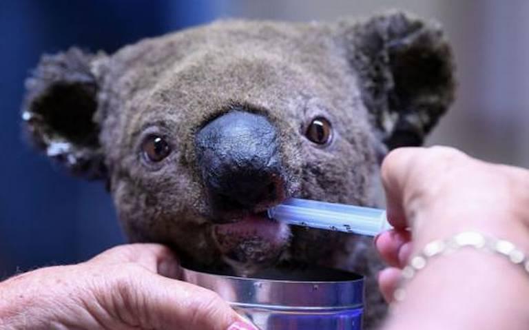 ¡Lamentable! Koalas mueren por incendios forestales en Australia