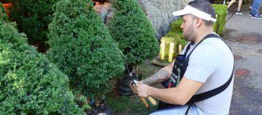 Pinos con raíz, opción ecológica para esta Navidad