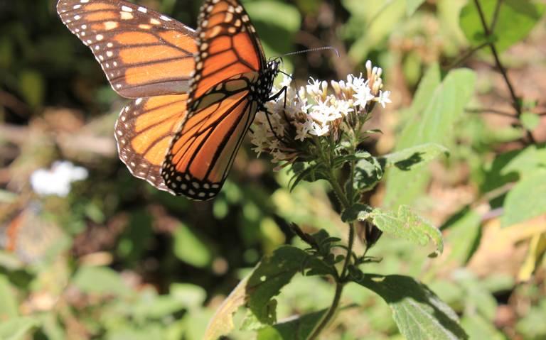 Buscan en África a la misteriosa mariposa gigante