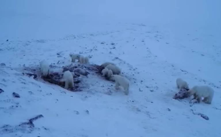 Por falta de hielo marino, osos polares invaden aldea rusa